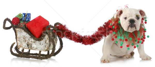 Psa christmas sanie angielski bulldog Zdjęcia stock © willeecole