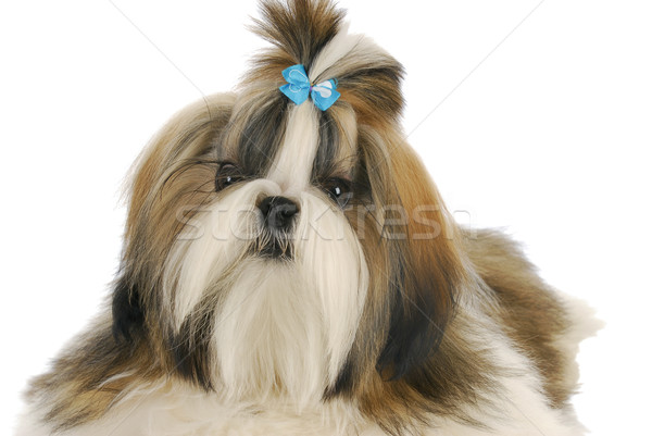 shih tzu Stock photo © willeecole