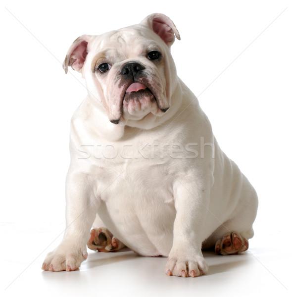 Foto stock: Cute · cachorro · Inglés · bulldog · sesión · mirando