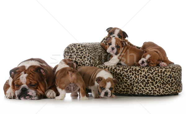 bulldog litter Stock photo © willeecole