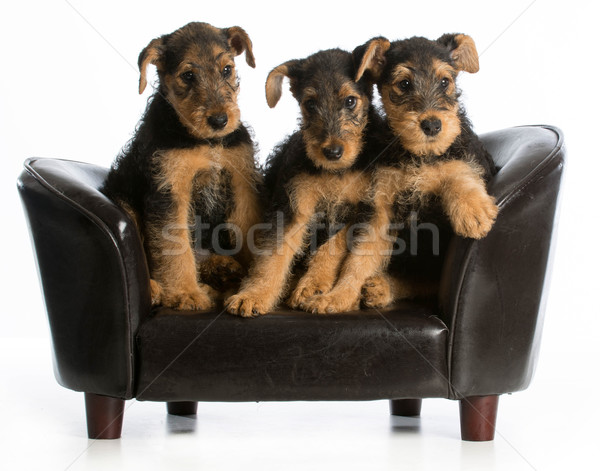 airedale terrier litter Stock photo © willeecole
