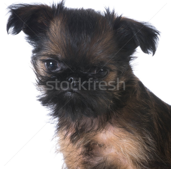 brussels griffon Stock photo © willeecole
