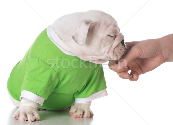 hand petting puppy Stock photo © willeecole