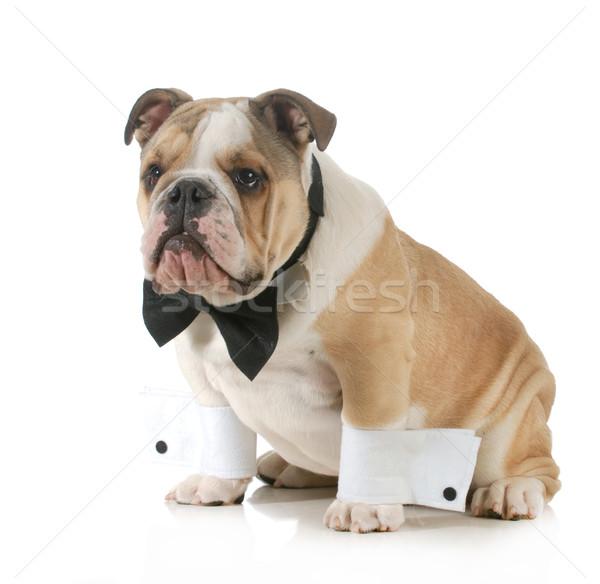 handsome dog Stock photo © willeecole