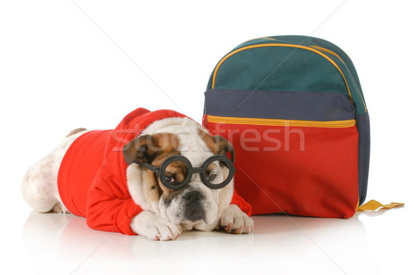 Köpek itaat eğitim İngilizce buldok Stok fotoğraf © willeecole