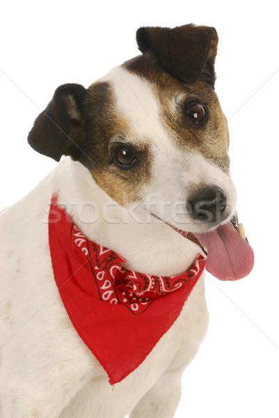 かわいい 犬 ジャックラッセルテリア 着用 赤 髪 ストックフォト © willeecole