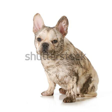 çamurlu kirli köpek fransız buldok kapalı Stok fotoğraf © willeecole