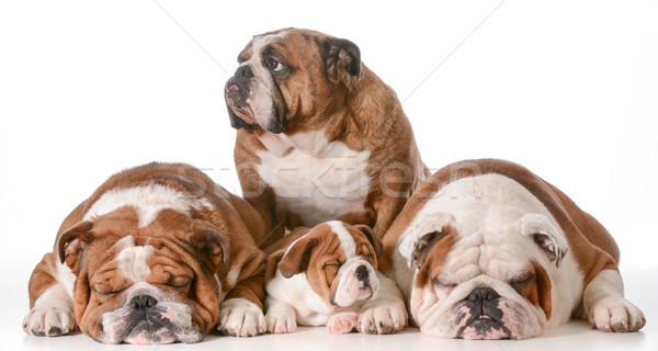 Stock photo: bulldog family