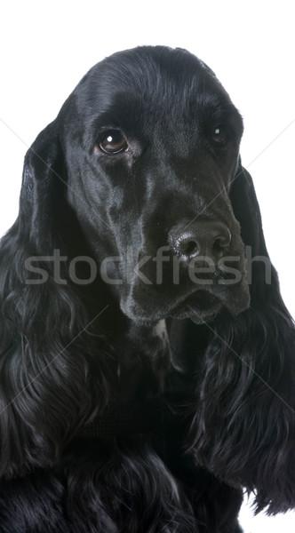 english cocker spaniel portrait Stock photo © willeecole