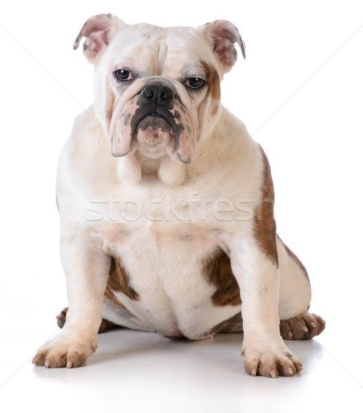 Chien boueux pieds bulldog séance blanche Photo stock © willeecole