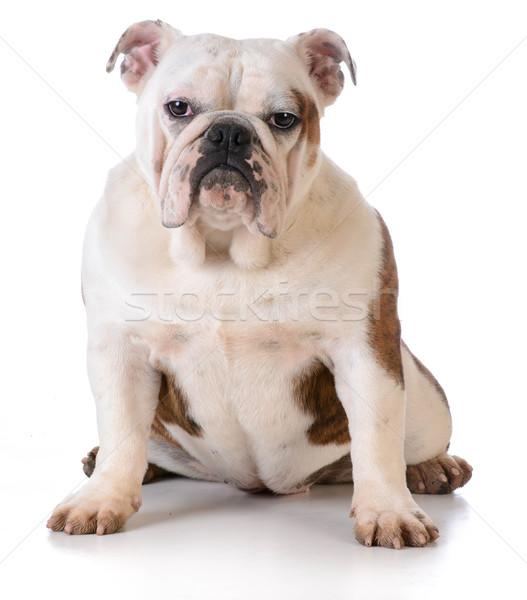 Kutya sáros láb bulldog ül fehér Stock fotó © willeecole