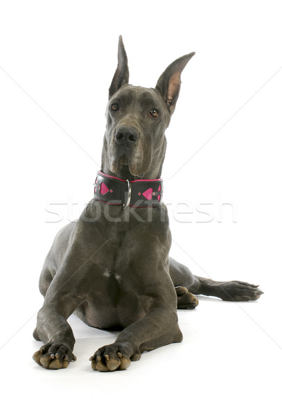 great dane Stock photo © willeecole