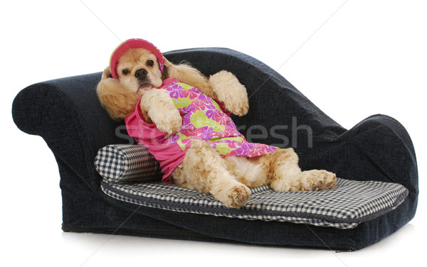 dog on a couch Stock photo © willeecole