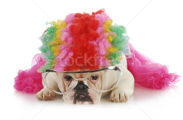 Hülye kutya angol bulldog felfelé ahogy Stock fotó © willeecole