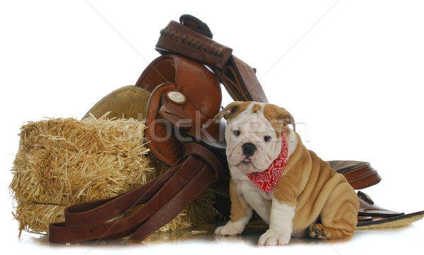 farm dog Stock photo © willeecole