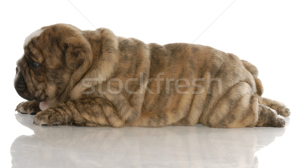 red brindle english bulldog puppy laying down from the side - 4 weeks old Stock photo © willeecole