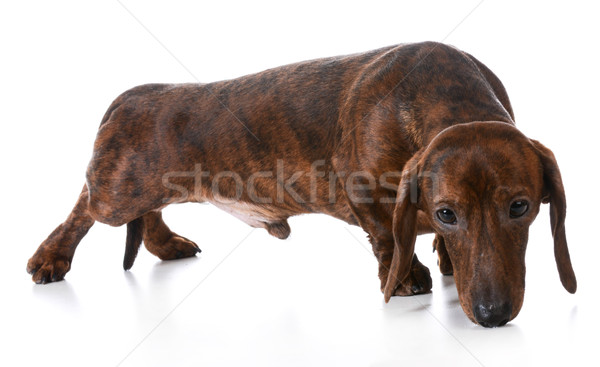dog sniffing Stock photo © willeecole