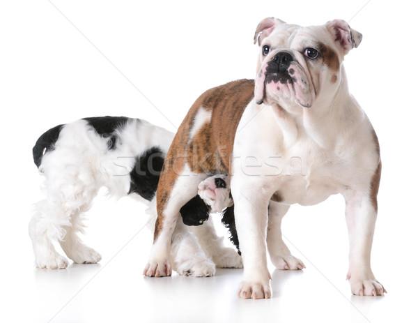 Animaux comportement une chien autre chiens Photo stock © willeecole