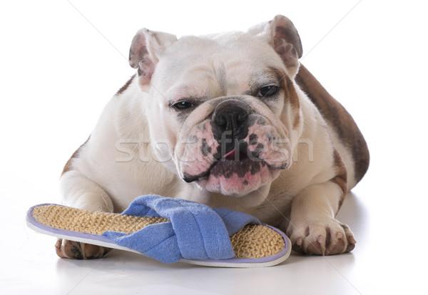 Köpek yavrusu terlik komik arka plan eğlence Stok fotoğraf © willeecole