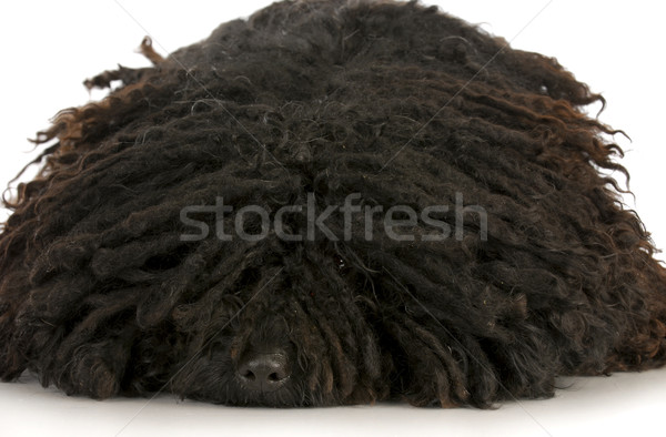 puli laying down Stock photo © willeecole