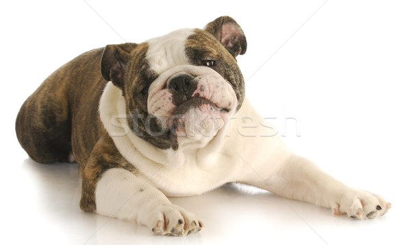 funny dog Stock photo © willeecole