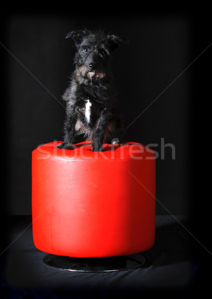 cute mixed breed dog Stock photo © willeecole