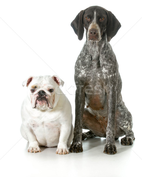 two different purebred dogs Stock photo © willeecole