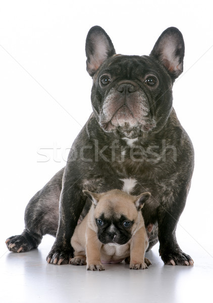mother and daughter french bulldogs Stock photo © willeecole
