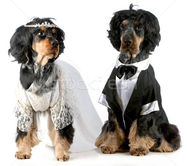 Zdjęcia stock: Psa · oblubienicy · pan · młody · angielski · w · górę · kostiumy
