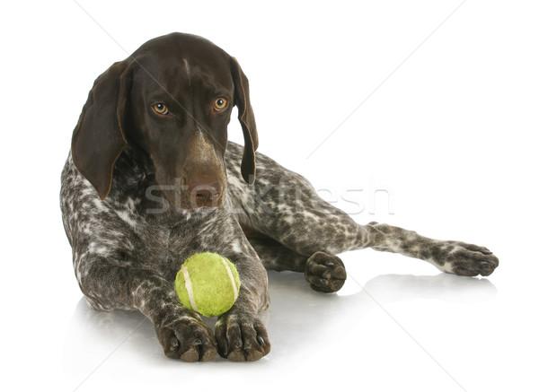 Cane palla piccolo palla da tennis mesi Foto d'archivio © willeecole