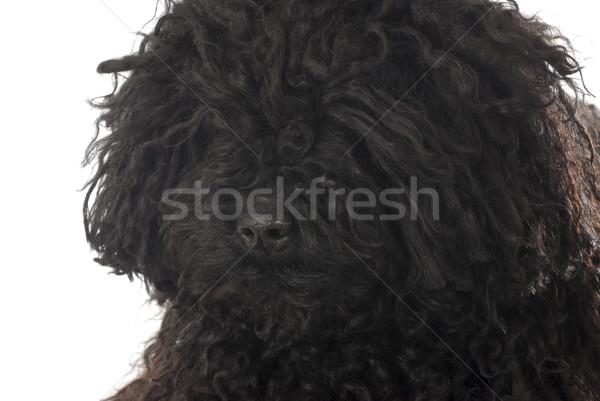 puli portrait Stock photo © willeecole