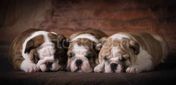 cute puppies Stock photo © willeecole