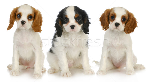 three puppies Stock photo © willeecole
