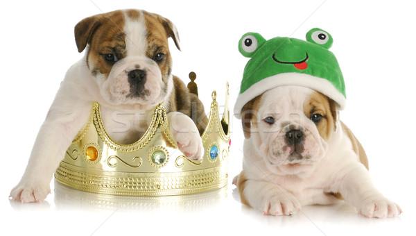 Prince rana english bulldog seduta corona Foto d'archivio © willeecole