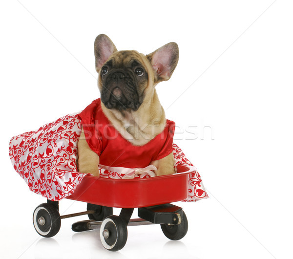cute dog in a wagon Stock photo © willeecole
