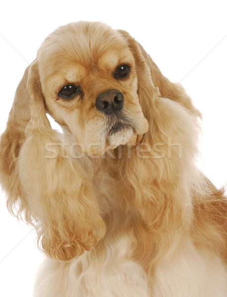 Foto stock: Bonitinho · cão · americano · cabeça · retrato · branco