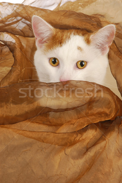 cat with amber eyes Stock photo © willeecole