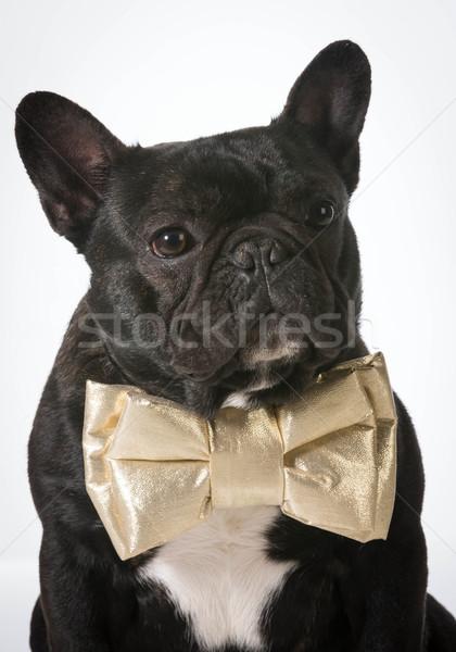 formal dog Stock photo © willeecole