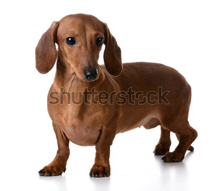 miniature smooth dachshund Stock photo © willeecole