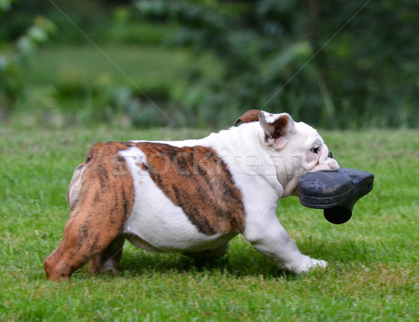 dog stealing shoe Stock photo © willeecole