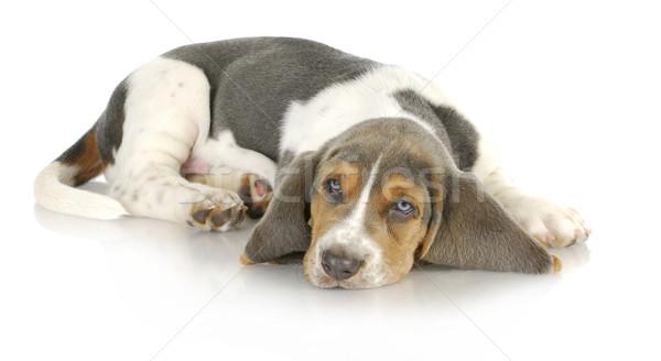 Jachthond puppy reflectie witte achtergrond Stockfoto © willeecole