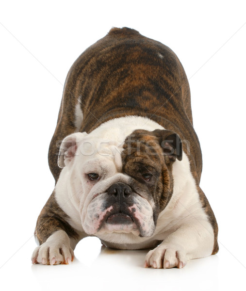 Chien anglais bulldog bum up Photo stock © willeecole