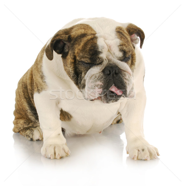 disgusted dog Stock photo © willeecole