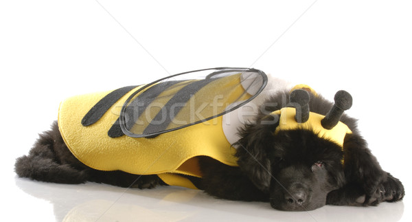 newfoundland puppy dressed up like a bee - twelve weeks old Stock photo © willeecole