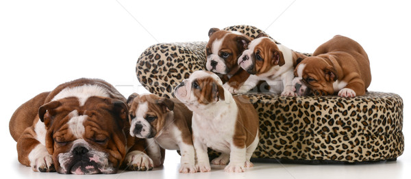 Hond familie Engels bulldog vader vijf Stockfoto © willeecole