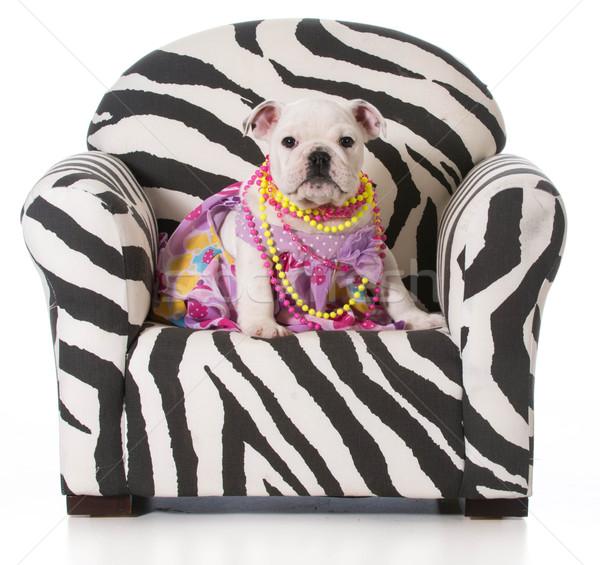 Aranyos kutyakölyök angol bulldog ül szék Stock fotó © willeecole