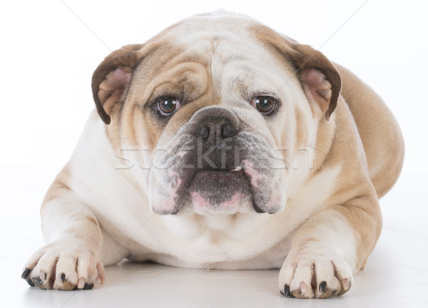 dog laying down Stock photo © willeecole