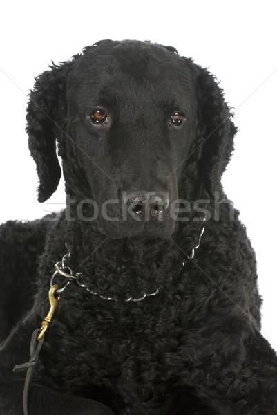 curly coated retriever Stock photo © willeecole