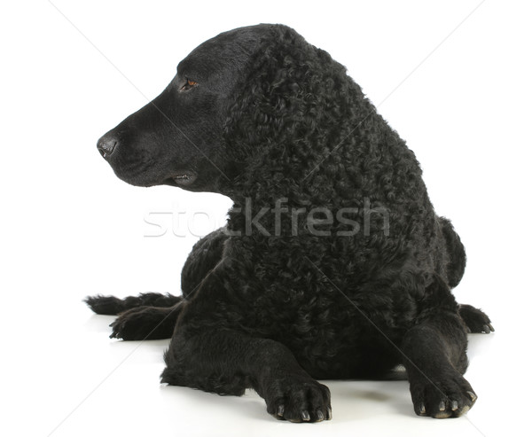 curly coated retriever Stock photo © willeecole