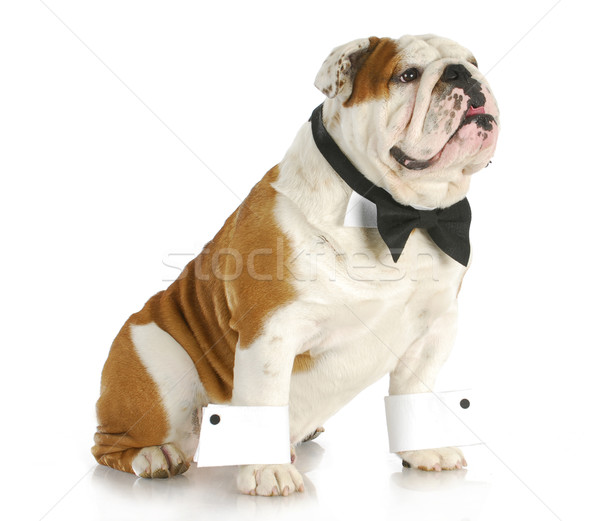Mannelijke hond Engels bulldog omhoog Stockfoto © willeecole